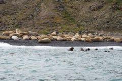 Valrossar på stranden Royaltyfria Foton