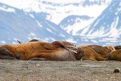 Valrossar som ligger på kusten i Svalbard, Norge Fotografering för Bildbyråer