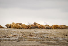 Valrossar som ligger på kusten i Svalbard, Norge Arkivbild