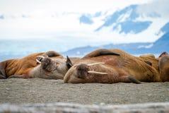 Valrossar som ligger på kusten i Svalbard, Norge Royaltyfri Bild