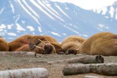 Valrossar som ligger på kusten i Svalbard, Norge Arkivfoto