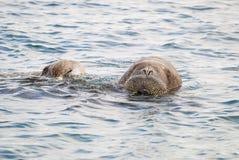 Valrossar som simmar i havet Arkivfoto