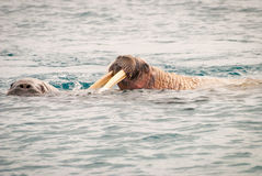 Valrossar som simmar i havet Royaltyfri Fotografi