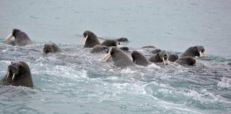 Valrossfamilj i havet Royaltyfria Foton