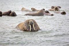 Valrossfamilj i havet Arkivbilder