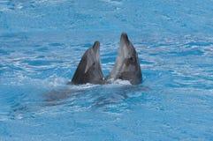 Valsa da dança dos golfinhos Imagens de Stock Royalty Free
