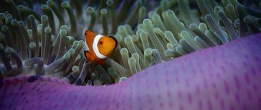 Valse anemonefish of Clownfish, Amphiprion-ocellaris, verbergen in een anemoon stock video