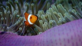 Valse anemonefish of Clownfish, Amphiprion-ocellaris, verbergen in een anemoon stock footage
