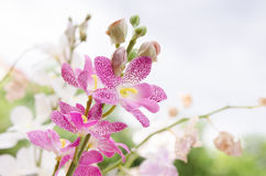 Valse bloemorchidee Royalty-vrije Stock Afbeeldingen