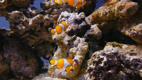Valse clown anemonefish of ocellaris van nemoamphiprion stock footage