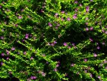 Valse Heide of Cuphea-hyssopifolia Stock Foto's