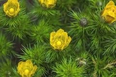 Valse helleborebloemen met waterdalingen in de de lentedag royalty-vrije stock afbeeldingen