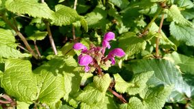 Valse maculatum van netellamium met kenmerkende roze bloemen stock foto