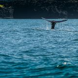 Valsvanspinnar ut ur vatten arkivfoton