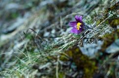 Valuable purple flower on rock background (pulsatilla slavica) Royalty Free Stock Photos