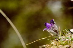 Valuable purple flower on rock background (pulsatilla slavica) Stock Photos