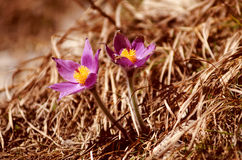 Valuable purple flower on rock background (pulsatilla slavica) Royalty Free Stock Images