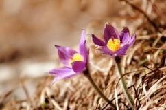 Valuable purple flower on rock background (pulsatilla slavica) Stock Images