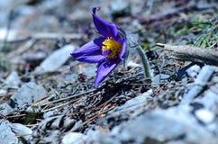 Valuable purple flower on rock background (pulsatilla slavica) Stock Photography