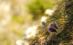 Valuable purple flower on rock background (pulsatilla slavica) Stock Photo