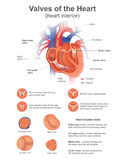 Valves of the Heart. Vector Art, Illustration. Heart valve opens or closes incumbent on differential blood pressure on each side. Health care education Stock Image