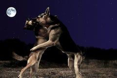 Valzer dei cani Fotografia Stock