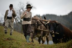 Peasants guiding his oxen royalty free stock photos