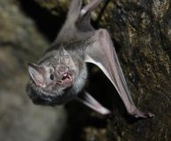 Vampire bat. A vampire bat baring its fangs for the camera royalty free stock photos