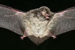 Vampire bat Stock Image