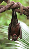 Vampire Bat Stock Photography