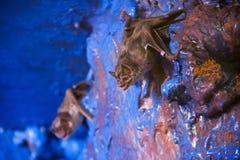 Vampire bat. Common vampire bat (Desmodus rotundus) in the night room Stock Images