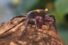Vampire crab Geosesarma dennerle Royalty Free Stock Image