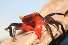 Vampire crab Geosesarma Hagen Royalty Free Stock Image