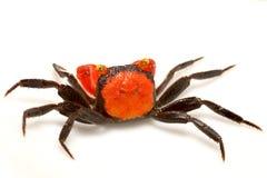 Vampire crab Geosesarma Hagen Royalty Free Stock Photo