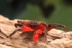 Vampire crab Geosesarma Hagen Stock Images