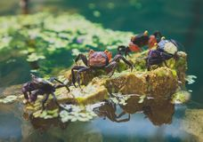 Vampire crabs. Vampire crabs and red devil crabs Stock Photography