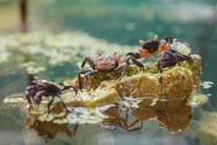 Vampire crabs. Vampire crabs and red devil crabs Royalty Free Stock Photo