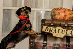 Vampire Dog Stock Photo