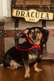 Vampire Dog Stock Photography