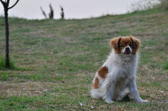 Vampire dog Royalty Free Stock Photography