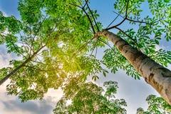 Van aanplantings latrx rubber of paragraaf rubberboom of boom rubber zuidelijk Thailand stock foto