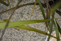 Van agavaceaenieuw zeeland van Phormium tanax de donkere ddeligh van het het vlasblad dichte omhooggaande mening met zandvloer Stock Foto