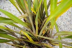 Van agavaceaenieuw zeeland van Phormium tanax de donkere ddeligh van het het vlasblad dichte omhooggaande mening met zandvloer Royalty-vrije Stock Fotografie