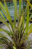 Van agavaceaenieuw zeeland van Phormium tanax de donkere ddeligh van het het vlasblad dichte omhooggaande mening met zandvloer Stock Afbeeldingen