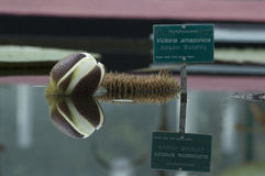 Van Amazonië Waterlily de Bloem (Reuzewaterlily) Bezinning Royalty-vrije Stock Fotografie