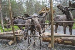 Van Amerikaanse elandenboerderij in E-D Royalty-vrije Stock Foto