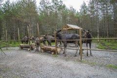 Van Amerikaanse elandenboerderij in E-D Stock Fotografie
