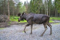 Van Amerikaanse elandenboerderij in E-D Royalty-vrije Stock Foto's