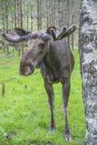 Van Amerikaanse elandenboerderij in E-D, close-up Royalty-vrije Stock Afbeelding
