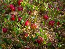 Van Amerikaanse veenbessen rode bessen aard als achtergrond Royalty-vrije Stock Afbeeldingen